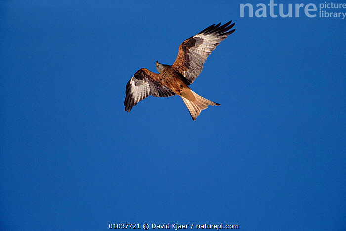 Red kite (Milvus milvus) in flight. Wales, UK  ,  ,VERTICAL,WALES,FLIGHT,BIRDS,FLYING,HORIZONTAL,UK, ,BIRDS OF PREY ,HIGH ANGLE,EUROPE,UNITED KINGDOM,BRITISH ,low angle  ,  David Kjaer