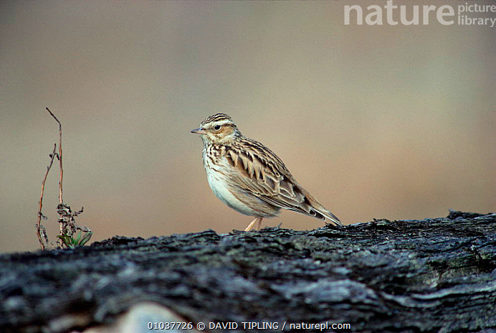 Woodlark perched on log. (Lullula arborea) Kent, UK.  ,  BIRDS,ENGLAND,EUROPE,LARKS,LOG,UK,WOODLANDS,United Kingdom,British  ,  DAVID TIPLING