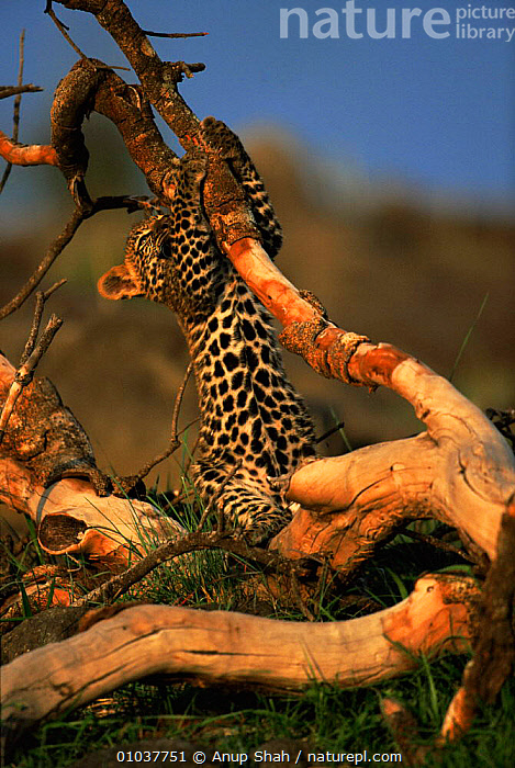 Leopard cub playing with tree roots (Panthera pardus) Masai Mara, Kenya, Africa  ,  AFRICA,BABIES,BIG CATS,CARNIVORES,CATS,CUBS,EAST AFRICA,LEOPARDS,MAMMALS,PLAY,PLAYFUL,PLAYING,RESERVE,SAVANNA,TREES,VERTEBRATES,VERTICAL,Grassland,Plants,Communication  ,  Anup Shah