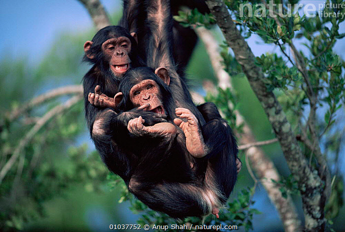 Two Chimpanzee juveniles playing in tree (Pan troglodytes) orphans at Sweetwater Sanctuary, Kenya, Africa  ,  ACTION,AFRICA,CHIMPS,EAST AFRICA,ENDANGERED,FRIENDSHIP,FUN,GREAT APES,HUMOROUS,JUVENILE,MAMMALS,ORPHANS,PAIR,PLAY,PLAYFUL,PLAYING,PRIMATES,RESCUED,SAVANNA,SWINGING,TREES,TWO,VERTEBRATES,Grassland,Concepts,Plants,Communication  ,  Anup Shah