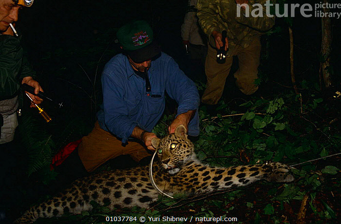 Researcher fixes radio collar to Amur leopard {Panthera pardus orientalis) Ussuriland, Far East Russia 1992  ,  ASIA,BIG CATS,CARNIVORES,CATS,CONSERVATION,ENDANGERED,LEOPARDS,MAMMALS,NIGHT,PEOPLE,RESEARCH,RUSSIA  ,  Yuri Shibnev
