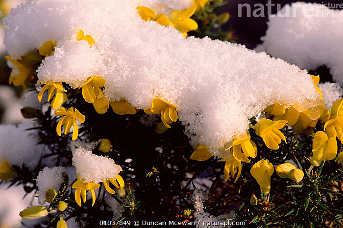 Gorse covered in snow. March. (Ulex europaeus) Scotland. snow, spring, flowers, Furze.  ,  YELLOW,FLOWERS,FURZE,SNOW,SPRING,DMC,HORIZONTAL,SCOTLAND,MARCH,PLANTS,EUROPE,PEA  ,  Duncan Mcewan