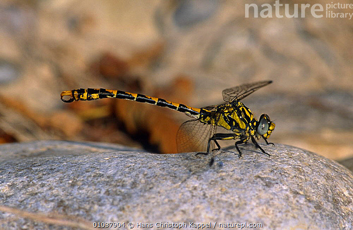 Blue eyed hook tailed dragonfly, male (Onychogomphus uncatus) France  ,  ARTHROPODS,BLUE,DRAGONFLIES,EUROPE,FRANCE,INSECTS,INVERTEBRATES,MALES,ODONATA  ,  Hans Christoph Kappel