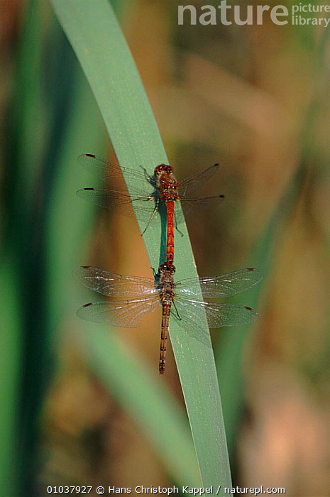 Common darter dragonfly pair, Germany  ,  TWO,HK,ARTHROPODS,GERMANY,EUROPE,INSECTS,MALE FEMALE PAIR,RED,VERTICAL,INVERTEBRATES,ODONATA  ,  Hans Christoph Kappel