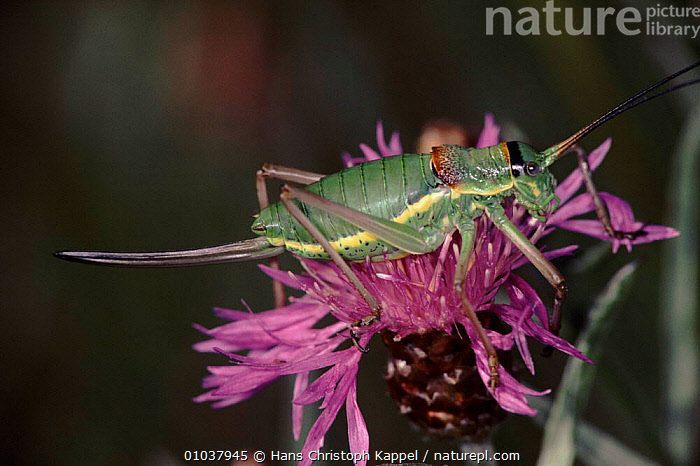Grasshopper (Ephippiger ephippiger) female on thistle. Yugoslavia, Europe  ,  FLOWERS,THISTLE,COLOURFUL,EUROPE,INSECTS,ARTHROPODS,FEMALES,PLANTS,INVERTEBRATE,HORIZONTAL,YUGOSLAVIA,INVERTEBRATES,ORTHOPTERA  ,  Hans Christoph Kappel