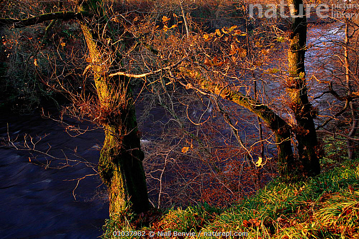 English oak tree (Quercus robur) in ancient wood by River Esk. Scotland, UK, Europe,  ,  ESK,SCOTLAND,WOOD,RIVER,TRUNKS,BROADLEAF,OLD,ANCIENT,RIVERS,HORIZONTAL,TREES,BRANCHES,EUROPE,UNITED KINGDOM,PLANTS,BRITISH  ,  Niall Benvie
