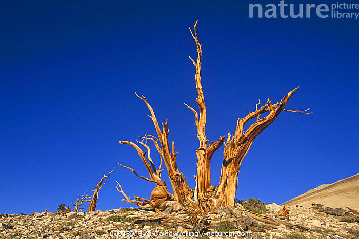 Bristlecone pine, ancient tree (Pinus aristata) White Mountains, California USA  ,  CONIFERS,GYMNOSPERMS,OLD,PINACEAE,PINES,PLANTS,TREES,TRUNKS,USA,North America  ,  David Welling