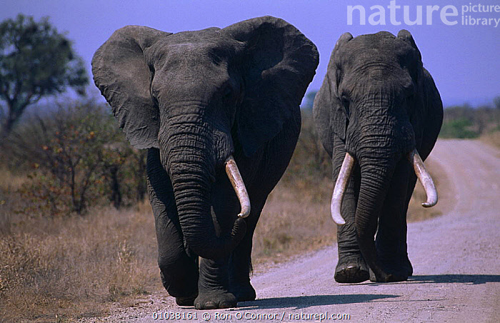 Two old African elephant bulls {Loxodonta africana} walking along road, Kruger NP, South Africa  ,  BIG,DANGEROUS,ELEPHANTS,ENDANGERED,MALES,MAMMALS,NP,OLD,PROBOSCIDS,ROADS,SIZE,SOUTHERN AFRICA,TUSKERS,TWO,VELDT,VERTEBRATES,Grassland,National Park  ,  Ron O'Connor