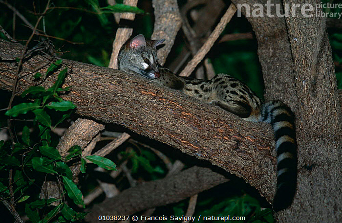 Large spotted genet in tree (Genetta tigrina) Kruger NP, South Africa  ,  AFRICA,CARNIVORES,GENETS,MAMMALS,NIGHT,RESERVE,SOUTHERN AFRICA,VERTEBRATES,Civets  ,  Francois Savigny