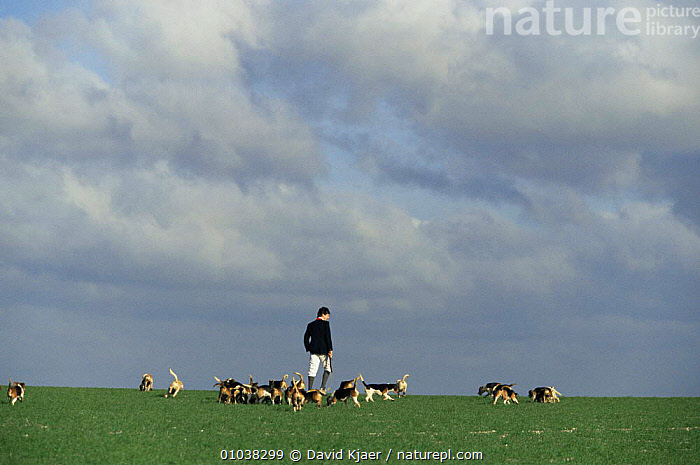 Beagling - hunting hares on the Wiltshire Downs with beagles, UK, 1998  ,  DOG,DOGS,ENGLAND,EUROPE,HARE,HUNTING SPORT,PEOPLE,TRADITIONAL,UK,United Kingdom,British  ,  David Kjaer