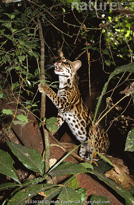 Semi-tame Margay (Felis wiedi) inspecting vine, Gamboa, Panama 1994  ,  CARNIVORES,CATS,CENTRAL AMERICA,MAMMALS,MARGAYS,NIGHT,PANAMA,TROPICAL RAINFOREST,VERTEBRATES,VERTICAL  ,  Mark Payne-Gill