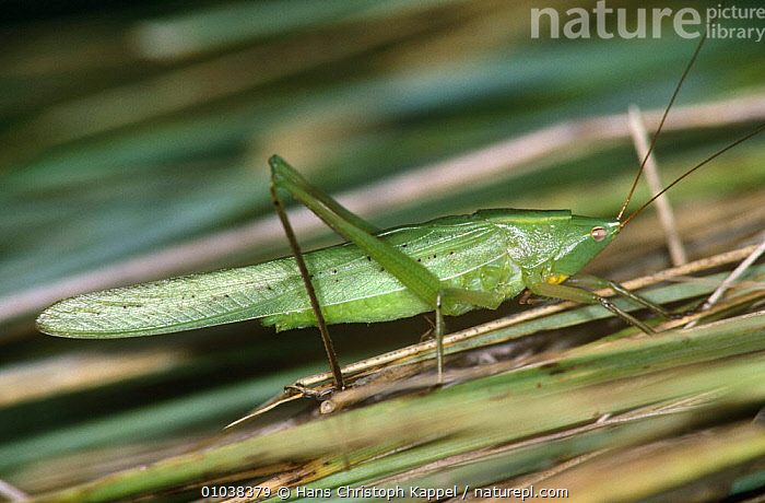 Grasshopper, male (Homorocoryphus nitidulus) Hungary  ,  EUROPE,GRASSHOPPERS,HUNGARY,INSECTS,INVERTEBRATES,LONG HORNED GRASSHOPPERS,MALES,ORTHOPTERA,PROFILE  ,  Hans Christoph Kappel