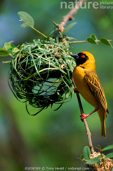 Nature Picture Library Male African Masked Weaver Bird Building