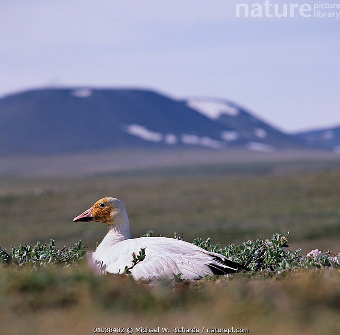Snow goose (Chen caerulescens) on nest in arctic, Wrangel Is, far east Russia  ,  ARCTIC, BIRDS, GEESE, LANDSCAPES, NESTS, RUSSIA, Siberia, SNOW, VERTEBRATES, WATERFOWL  ,  Michael W. Richards