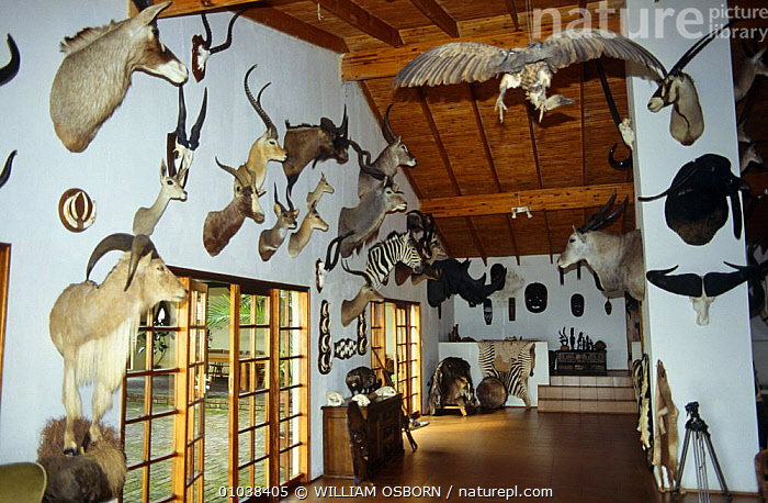 Trophy room, Klipspringer lodge, Nelspruit, South Africa  ,  AFRICA,ARTIFACTS,BUILDINGS,HEADS,HUNTING,HUNTING SPORT,MAMMALS,SOUTHERN AFRICA,STUFFED ANIMALS,TAXIDERMY  ,  WILLIAM OSBORN