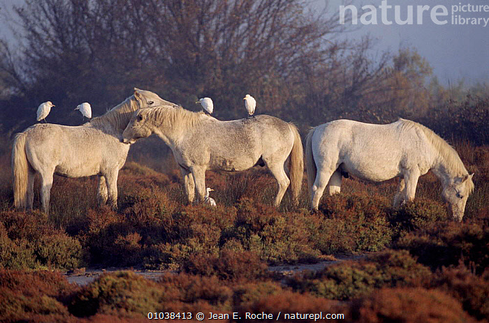 Wild horses with Cattle egrets, Camargue, France.  ,  HORIZONTAL,MAMMALS,GROOMING,JRO,SOCIAL BEHAVIOUR,CAMARGUE,GROUPS,MARSHES,SYMBIOSIS*,THREE,BIRDS,FRANCE,EUROPE,PERISSODACTYLA,EGRETS,MIXED SPECIES*,WHITE,WETLANDS,EQUINES, Wild animal, horse, Cattle egrets, Camargue, France, medium group of animals, standing, full length, grazing, mutual grooming, symbiosis, nobody,,Concepts,Partnership  ,  Jean E. Roche