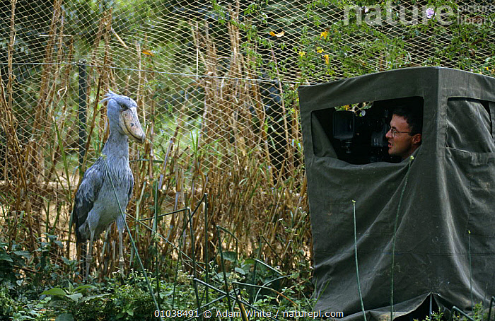 Barrie Britton in hide filming captive Shoebill stork (Balaeniceps rex) Uganda for BBC Life of Birds series  ,  FILMING,NHU  ,  Adam White