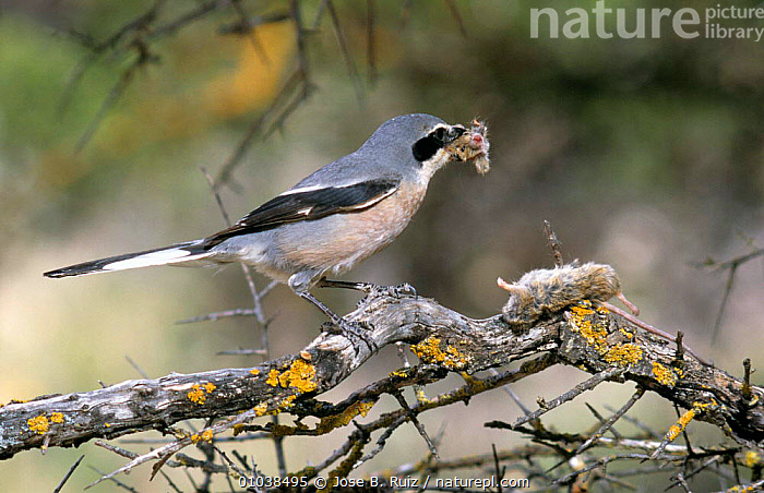 Great grey shrike with  impaled prey (Lanius excubitor) dismembering mouse to feed to chicks, Spain  ,  BEHAVIOUR,BIRDS,EUROPE,FEEDING,LARDER,PARENTAL,PREDATION,SHRIKES,SPAIN,VERTEBRATES  ,  Jose B. Ruiz