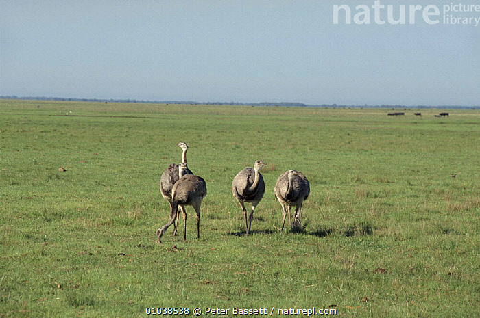 Common rheas, Argentina. Grassland  ,  SOUTH AMERICA,HORIZONTAL,PB,BIRDS,FLIGHTLESS,PAMPAS,ARGENTINA,GRASSLAND,LANDSCAPES  ,  Peter Bassett