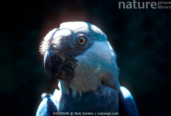 Spix's macaw - Endangered species, Brazil  Amazonia  ,  AMAZON,BIRDS,BLUE,BRAZIL,ENDANGERED,HEADS,LITTLE,NG,PARROTS,SOUTH AMERICA,MACAWS  ,  Nick Gordon