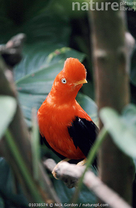 Male Andean Cock of the rock, Peru South America  ,  BIRDS, COCK-OF-THE-ROCKS, MALES, RED, VERTEBRATES, VERTICAL, WOODLANDS  ,  Nick Gordon