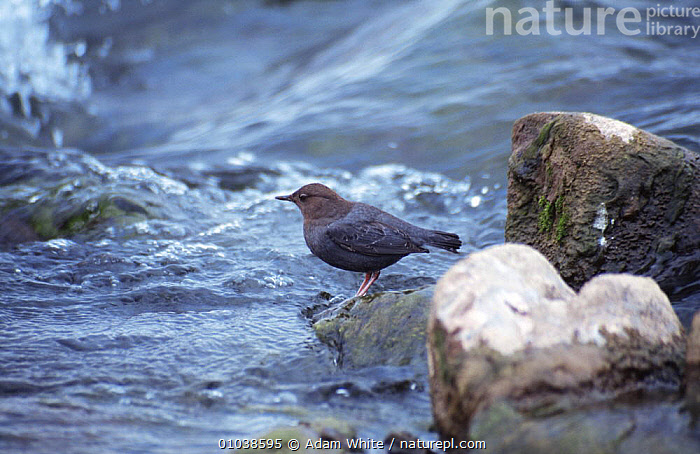 American dipper in stream (Cinclus mexicanus) Yellowstone NP, Wyoming, USA  ,  BIRDS,DIPPERS,HABITAT,NORTH AMERICA,NP,RIVERS,USA,VERTEBRATES,WATER,National Park  ,  Adam White