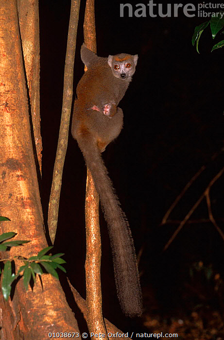 Crowned lemur female carrying baby. Madagascar, Ankarana Special Reserve  ,  PO,TREE,N,WOODLANDS,ANKARANA,CARRYING,BABIES,VERTICAL,ENDANGERED,RESERVE,MADAGASCAR,FAMILIES,MAMMALS  ,  Pete Oxford