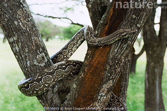 Argentine boa {Boa constrictor occidentalis} climbing tree, Argentina, Ibera marshes.  ,  BOAS,CLIMBING,CONSTRICTORS,MARSHES,PLANTS,REPTILES,SNAKES,SOUTH AMERICA,TREES,VERTEBRATES,Wetlands,SNAKE  ,  Ross Couper-Johnston