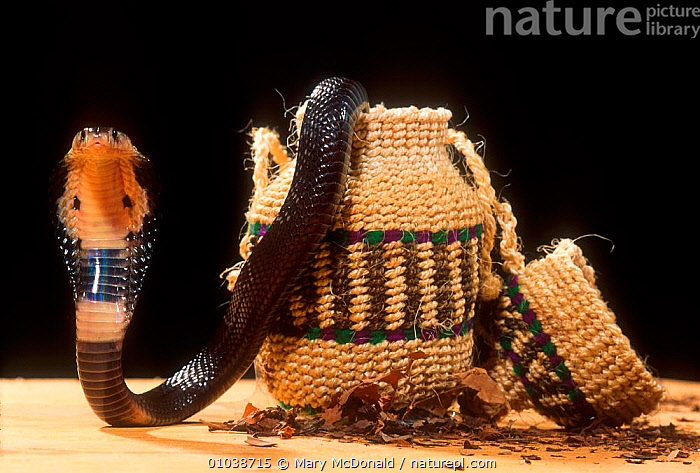 Snake charmer's Spectacled cobra coming out of basket,  India  ,  BASKET,CAPTIVE,CHARMER,COBRA,COBRAS,INDIA,INDIAN SUBCONTINENT,MMC,PORTRAIT,REPTILES,SNAKE,ASIA,SNAKES, COBRAS  ,  Mary McDonald