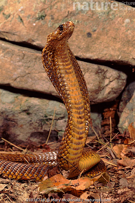 Cape cobra (Naja nivea). Namibia, Southern Africa  ,  VERTICAL,DEFENSIVE,REPTILES,AGGRESSION,NAMIBIA,SOUTHERN AFRICA,CAPTIVE,SNAKES,CONCEPTS,BEHAVIOUR, COBRAS  ,  Mary McDonald