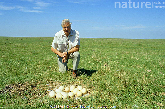 David Attenborough next to nest of rhea eggs, on location in Argentina 1997 for BBC Life of Birds series  ,  EGGS,NHU,SOUTH AMERICA  ,  Peter Bassett