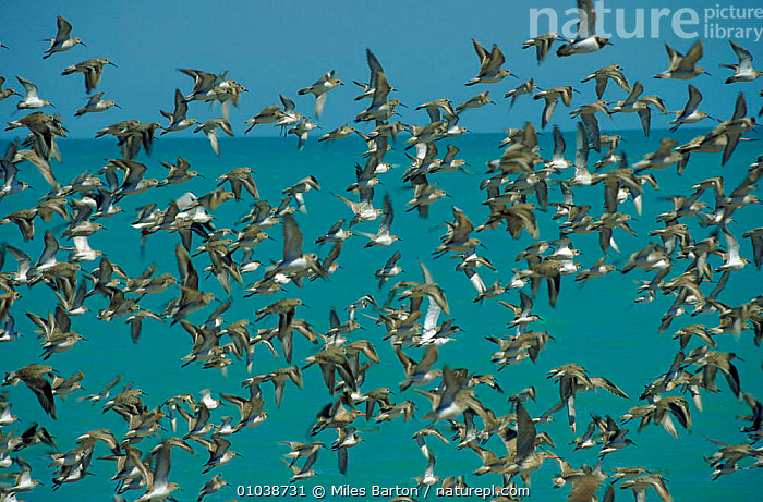 Mixed species flock of waders, including Great knot and Godwit, flying by sea in  Australia  ,  GODWIT,MB,AUSTRALIA,FLYING,HORIZONTAL,BLUE,BACKGROUNDS,BIRDS,KNOT,FLOCK,COASTS,WADERS,MIXED SPECIES,  ,  Miles Barton