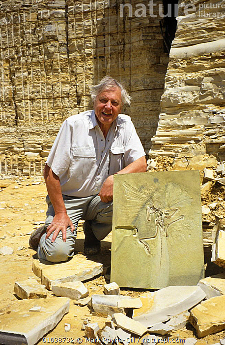 """David Attenborough with fossil archaeoptryx, on location for BBC television series """"Life of Birds"""", Germany, 1996  ,  BIRDS,CELEBRITIES,CELEBRITY,DINOSAURS,EUROPE,FOSSILS,GERMANY,NHU,PEOPLE,PORTRAITS,VERTICAL  ,  Mark Payne-Gill"""