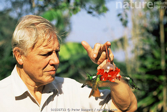 David Attenborough holding feeder with white throated hummingbirds flying to it, Brazil. On location for Life of Birds  ,  BIRDS,HUMMINGBIRDS,NHU,PEOPLE,SOUTH AMERICA  ,  Peter Bassett