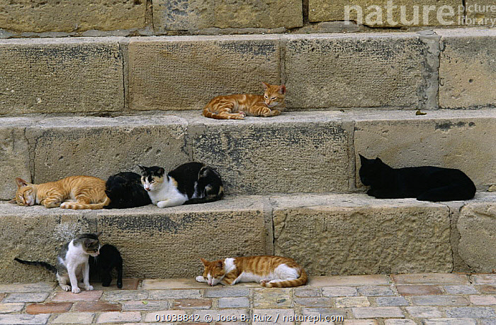 Domestic cats, probably feral {Felis catus} resting on steps in city  Alicante, Spain.  ,  CARNIVORES,CATS,GROUPS,MAMMALS,PETS,SPAIN,URBAN,VERTEBRATES,Europe  ,  Jose B. Ruiz