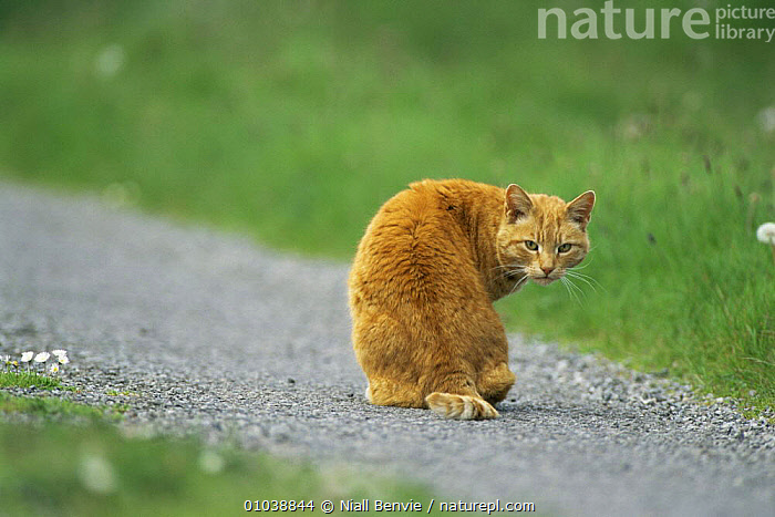 Ginger cat sitting on path and looking round, Scotland  ,  CATS,MAMMALS,ORANGE,PETS,SCOTLAND,VERTEBRATES,Europe  ,  Niall Benvie