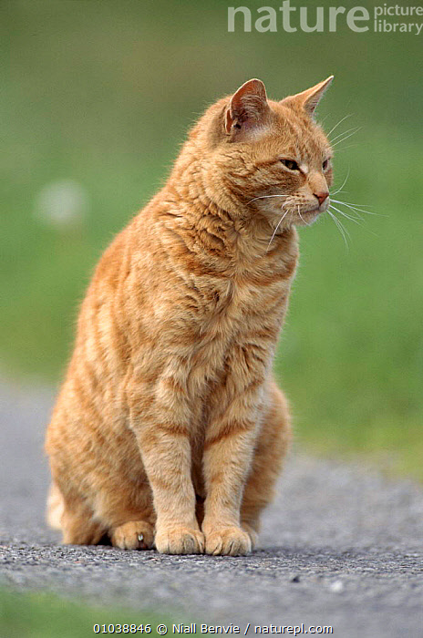 Domestic ginger cat, Scotland  ,  CARNIVORES,CATS,EUROPE,GINGER,MAMMALS,NB,ORANGE,PETS,SCOTLAND,VERTICAL  ,  Niall Benvie