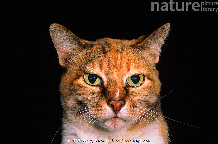 Domestic cat (Felis catus) portrait  ,  HORIZONTAL,MAMMALS,PORTRAIT,PORTRAITS,PO,CARNIVORES,PETS,CATS,EUROPE  ,  Pete Oxford