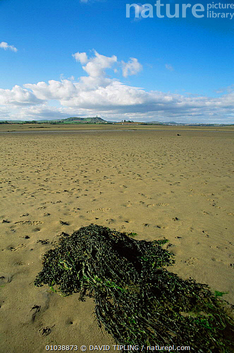 Strangford Lough at low tide, Co Down, Northern Ireland, UK.  ,  COASTS,EUROPE,IRELAND,LANDSCAPES,littoral,UK,ULSTER,VERTICAL,United Kingdom,Intertidal,British  ,  DAVID TIPLING