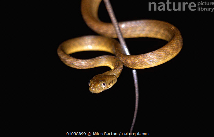 Brown tree snake {Boiga irregularis}, example of bioinvasion and responsible for bird extinctions on US Territory of Guam, Western Pacific Ocean  ,  BIOINVASION,COLUBRIDS,EXTINCTIONS,GUAM,INTRODUCED,INVASIVE,ISLANDS,OCEANIA,PACIFIC OCEAN,PROBLEM,REPTILES,SNAKES,SPECIES,TROPICAL,VERTEBRATES,Marine  ,  Miles Barton
