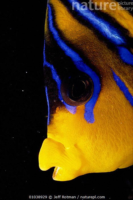 Regal angelfish head / face close-up (Pygoplites diacanthus) Red Sea  ,  AFRICA, COLOURFUL, FACES, FISH, MARINE, OSTEICHTHYES, RED, UNDERWATER, VERTEBRATES  ,  Jeff Rotman
