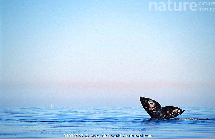 Grey whale tail fluke at surface (Eschrichtius robustus) Magdalena Bay, Baja California, Mexico  ,  CENTRAL AMERICA,CETACEANS,COASTAL WATERS,ENDANGERED,FLUKES,MAMMALS,MARINE,MEXICO,MIGRATION,PACIFIC OCEAN,SEA,SURFACE,TAILS,VERTEBRATES,WHALES  ,  Mary McDonald