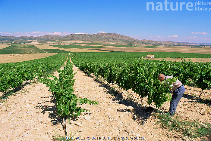 Man tedning vines in vineyard, Yecla, Murcia, Spain.  ,  AGRICULTURE,CROPS,EUROPE,FARMLAND,LANDSCAPES,PEOPLE,SPAIN,vineyards,wine  ,  Jose B. Ruiz