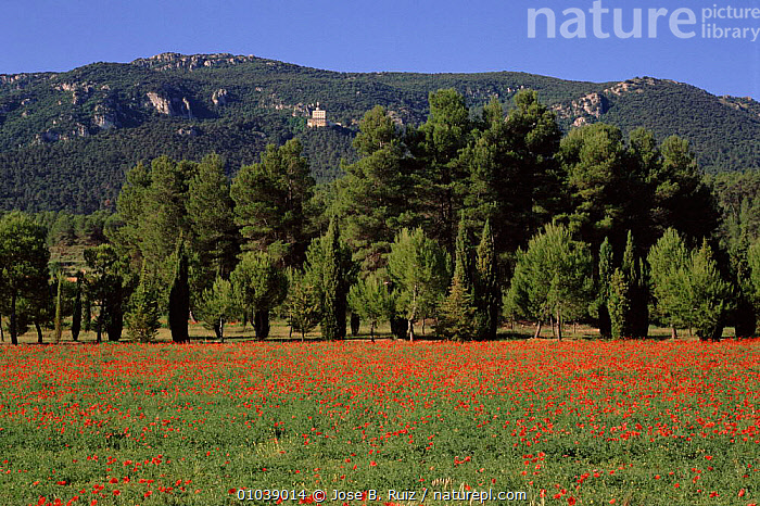 Poppy field, Font Roja NP, Alicante, Spain, Europe  ,  ALICANTE,FIELD,FLOWERS,FONT,HORIZONTAL,MOUNTAINS,NATIONAL PARK,NP,PLANTS,POPPY,ROJA,TREES,Europe  ,  Jose B. Ruiz