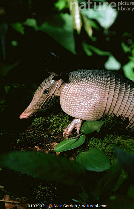Nine banded armadillo (Dasyspus novemcinctus), Brazil, South America  ,  ARMADILLOS,EDENTATES,MAMMALS,NINE,PORTRAITS,PROFILE,SOUTH AMERICA,TROPICAL RAINFOREST,VERTEBRATES,VERTICAL  ,  Nick Gordon