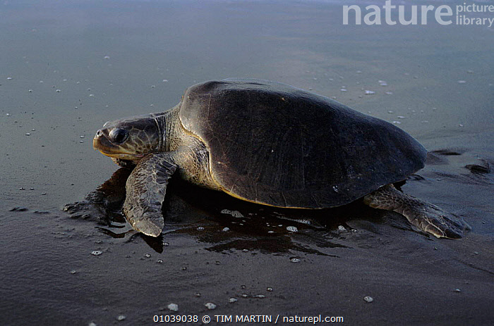 Olive ridley turtle (Lepidochelys olivacea) on beach. Pacific coast, Costa Rica, Central America  ,  BEACH,CENTRAL AMERICA,CHELONIA,COAST,COASTAL WATERS,COSTA,MARINE,PACIFIC,REPTILES,RICA,TIM,TURTLES,WALKING, Turtles  ,  TIM MARTIN