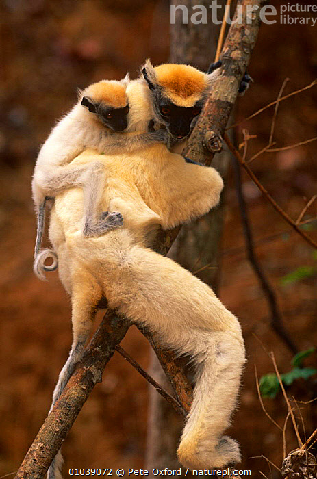 Golden Crowned Sifaka (Propithecus tattersalli)  in tree with young on back, Madagascar  ,  BABIES,CARRYING,ENDANGERED,FAMILIES,MADAGASCAR,MAMMALS,PRIMATES,SIFAKAS,VERTEBRATES,VERTICAL,Lemurs  ,  Pete Oxford