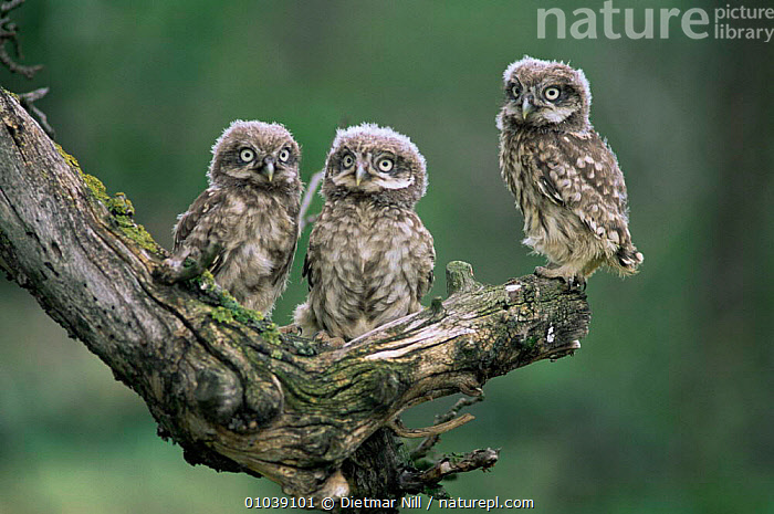 Three Little Owl chicks (Athene noctua) Germany  ,  BABIES,BIRDS,BIRDS OF PREY,CUTE,EUROPE,GERMANY,OWLS,VERTEBRATES,Raptor  ,  Dietmar Nill