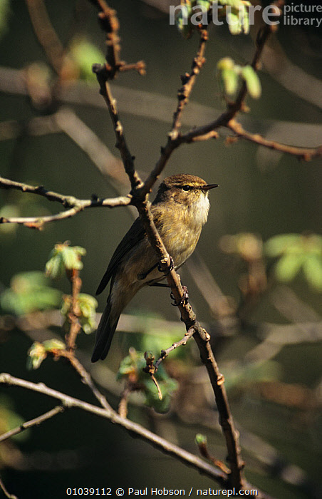 Chiffchaff (Phylloscopus collybita) male perched, Derbyshire, UK  ,  BIRDS,ENGLAND,EUROPE,MALES,PASSERINES,UK,VERTEBRATES,WARBLERS,United Kingdom  ,  Paul Hobson
