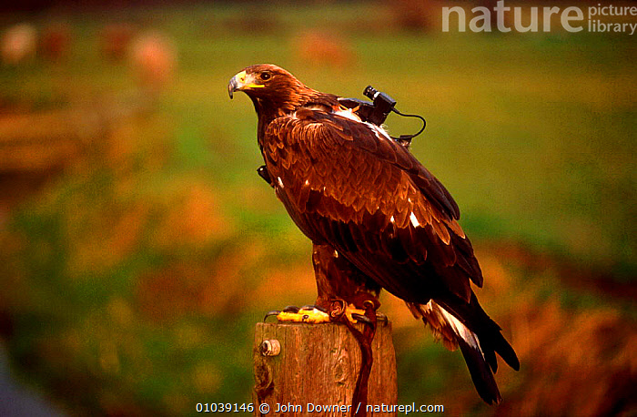 Golden eagle with special video camera to film while in flight  ,  BIRDS,BIRDS OF PREY,CAMERA,EAGLES,FILM,IN,JD,RAPTOR,VIDEO,WILD,WORKING  ,  John Downer